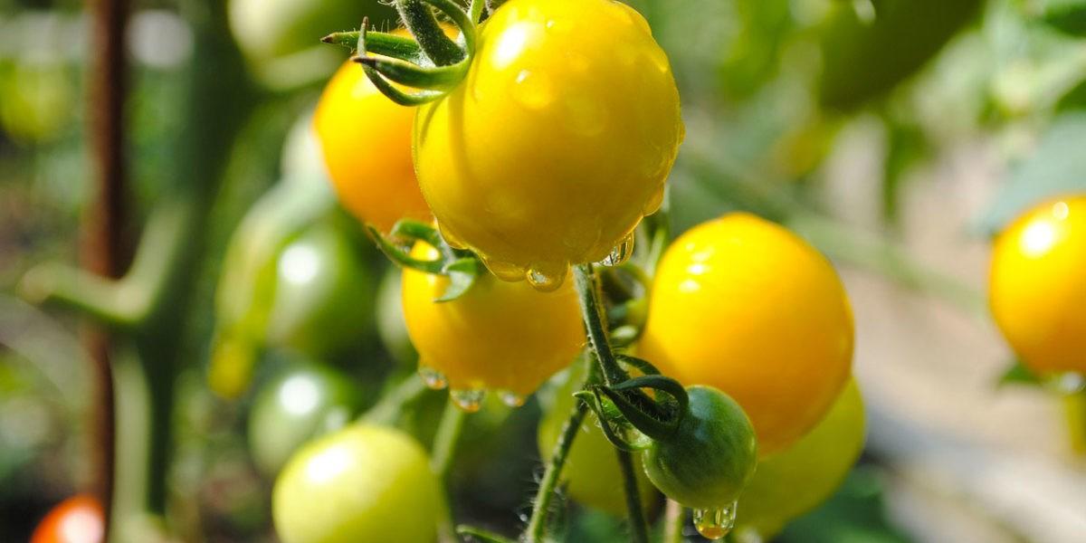 Un potager sans pesticide