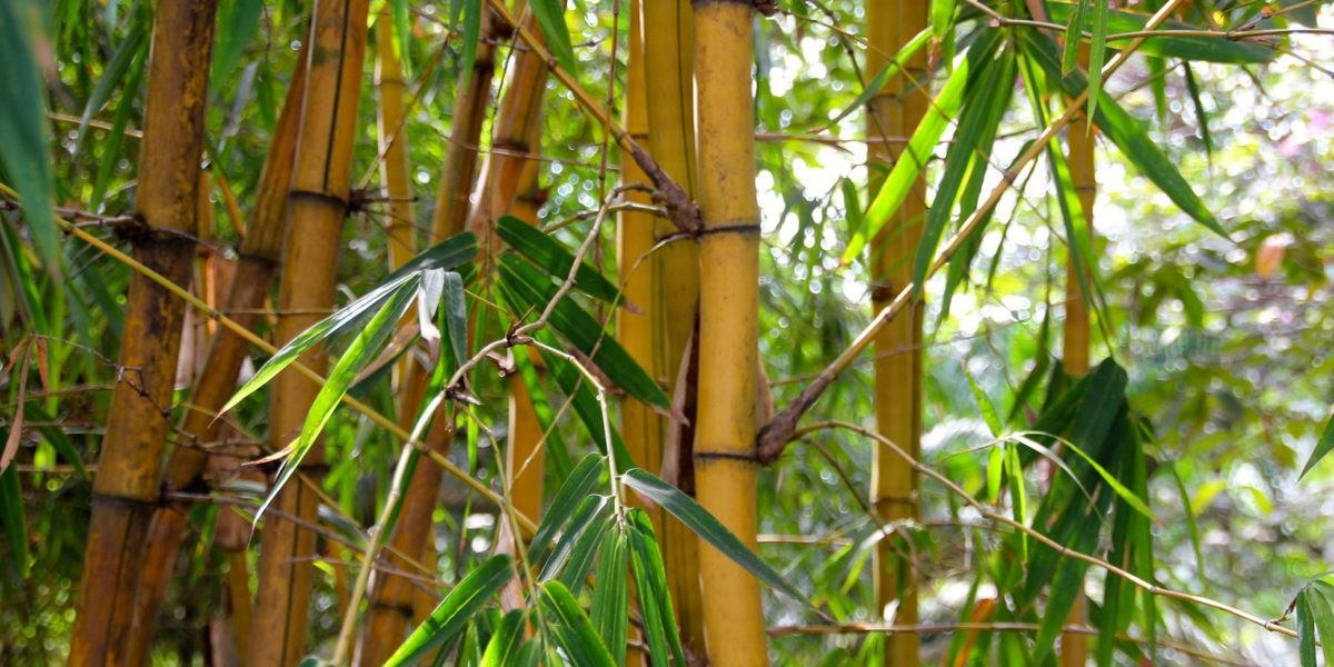 Le bambou, une ressource naturelle aux multiples usages