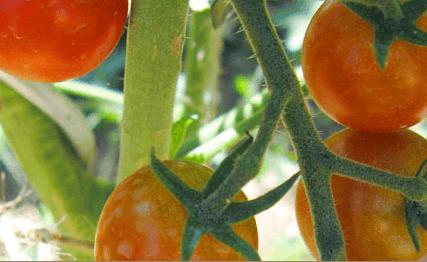 Plants potager