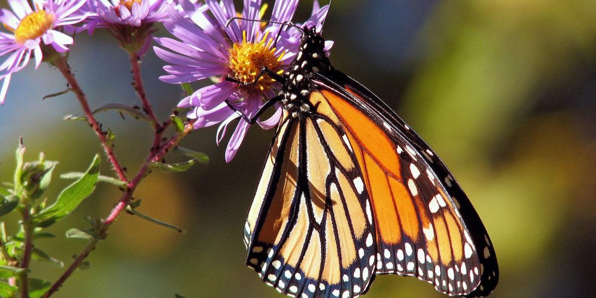 Accueillez les pollinisateurs dans votre jardin