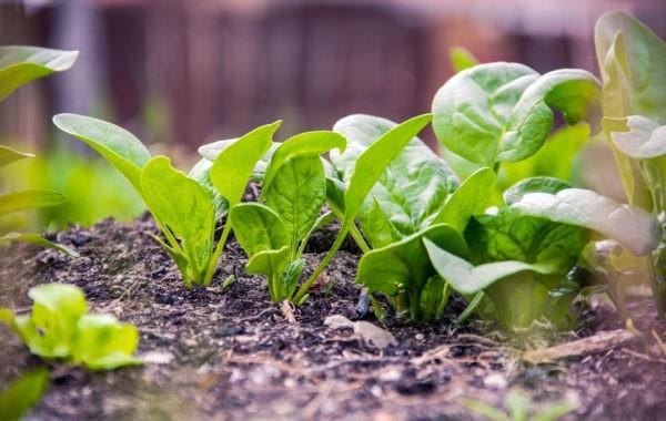 Que planter en mars au potager ?