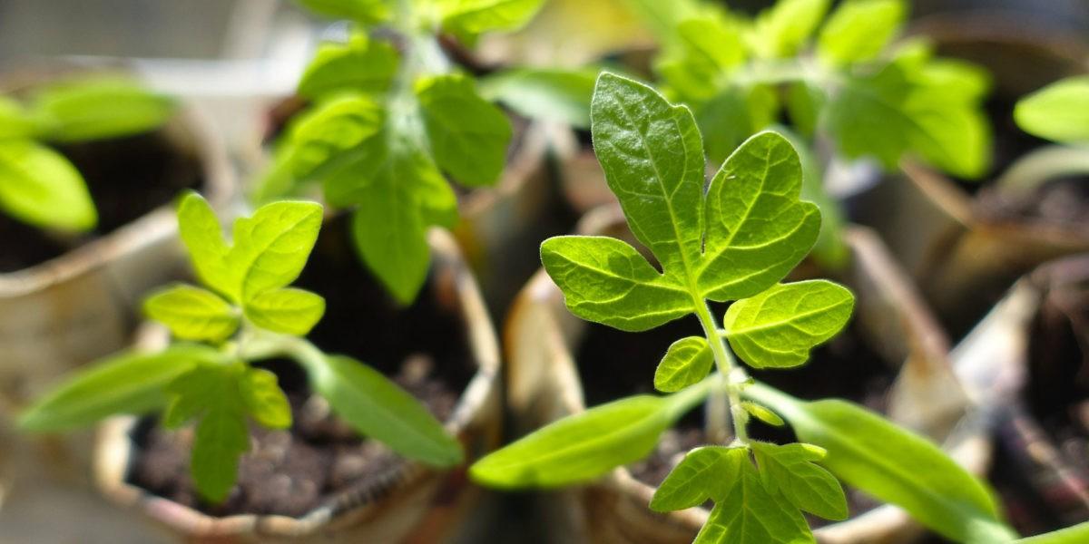 Que semer en mars au potager ?