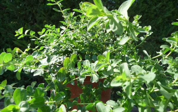 Plantes aromatiques des arômes du grès