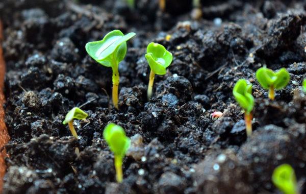 Que semer en avril au potager ?