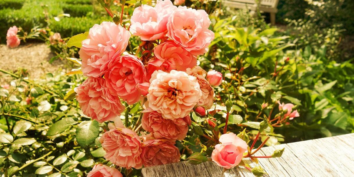Les rosiers : peu d'entretien pour de magnifiques fleurs