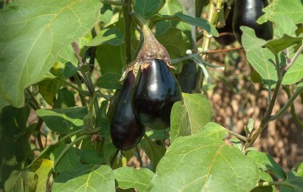 Que planter en juin au potager ?