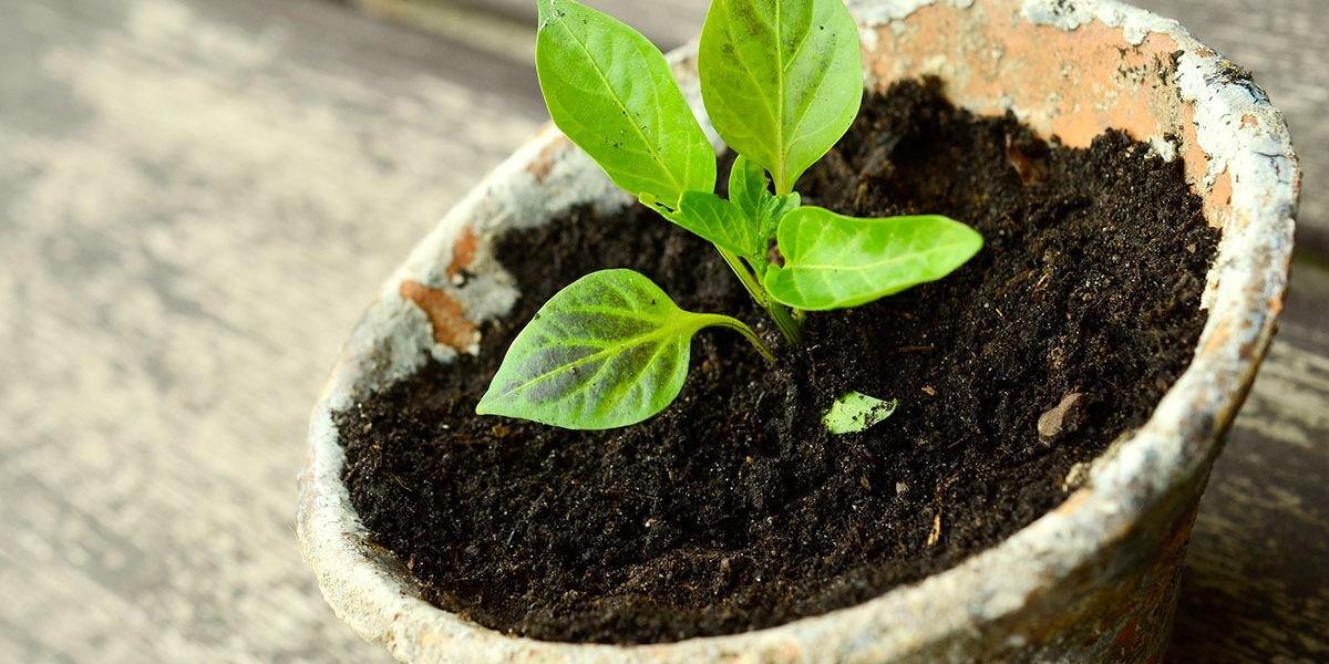 Que semer en juin au potager ?