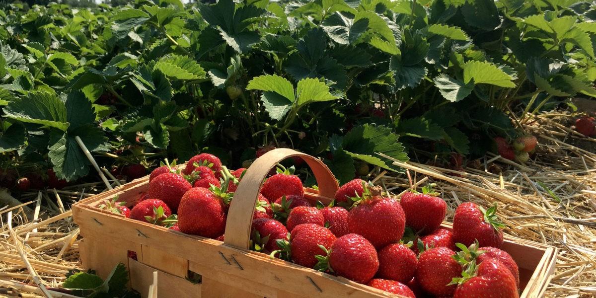Que récolter en juin au potager ?