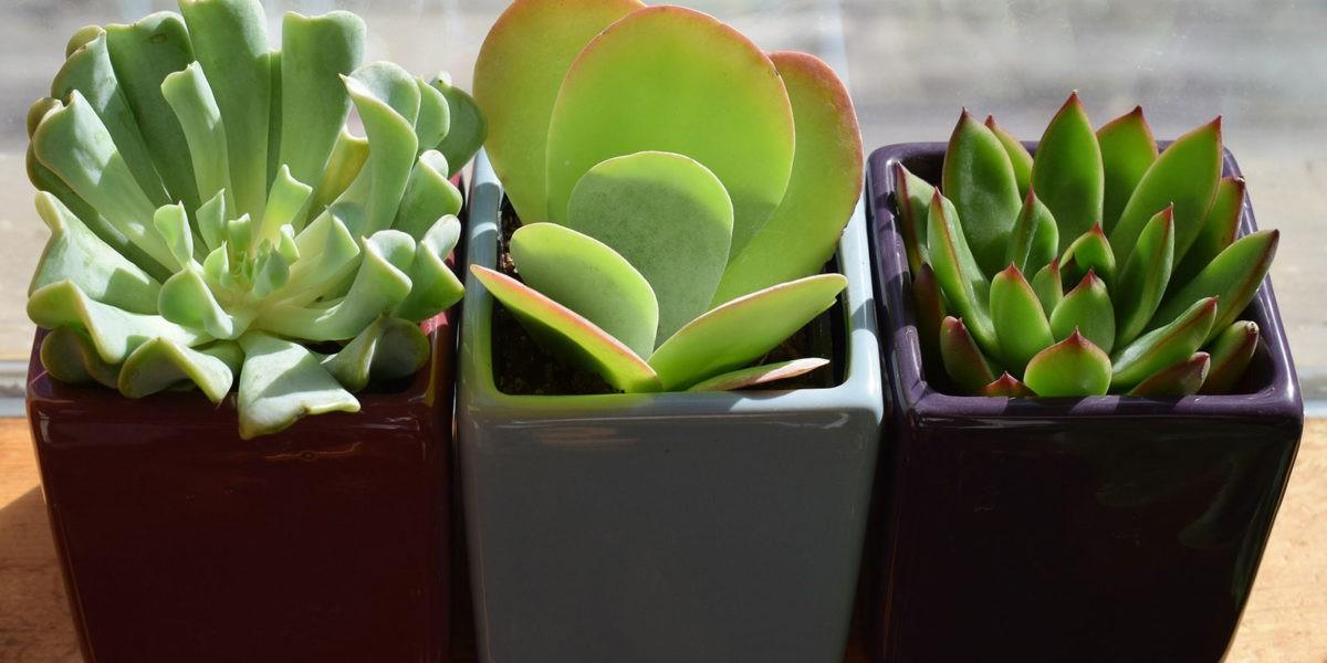 Qu'est ce que les succulentes?