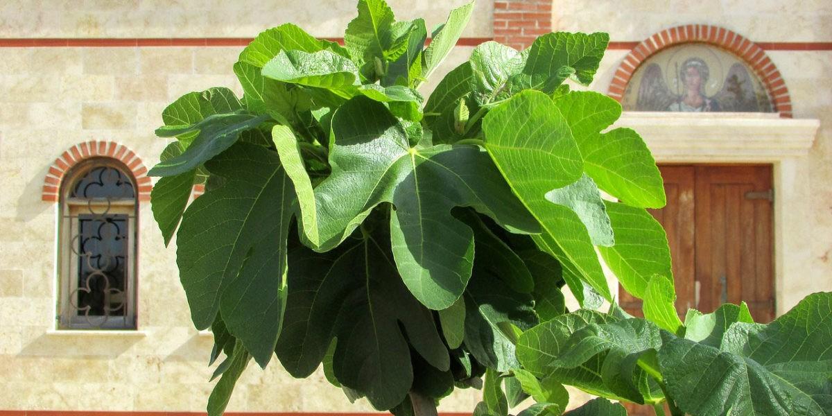 Plantation de figuiers achetés en racines nues