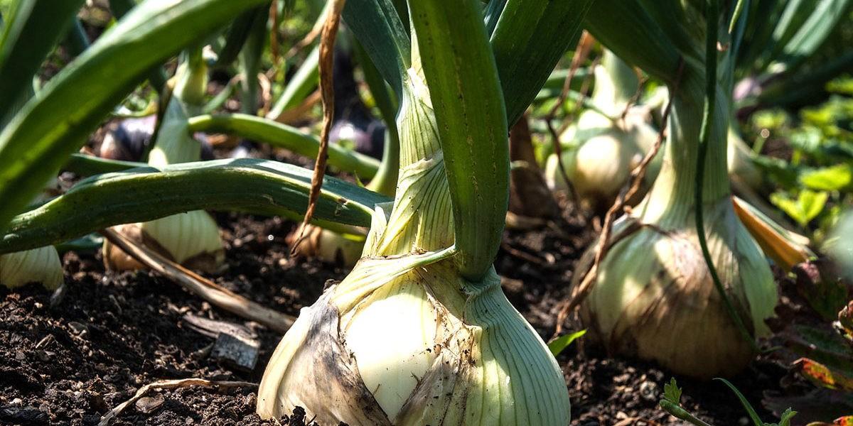 Que semer en janvier au potager ?
