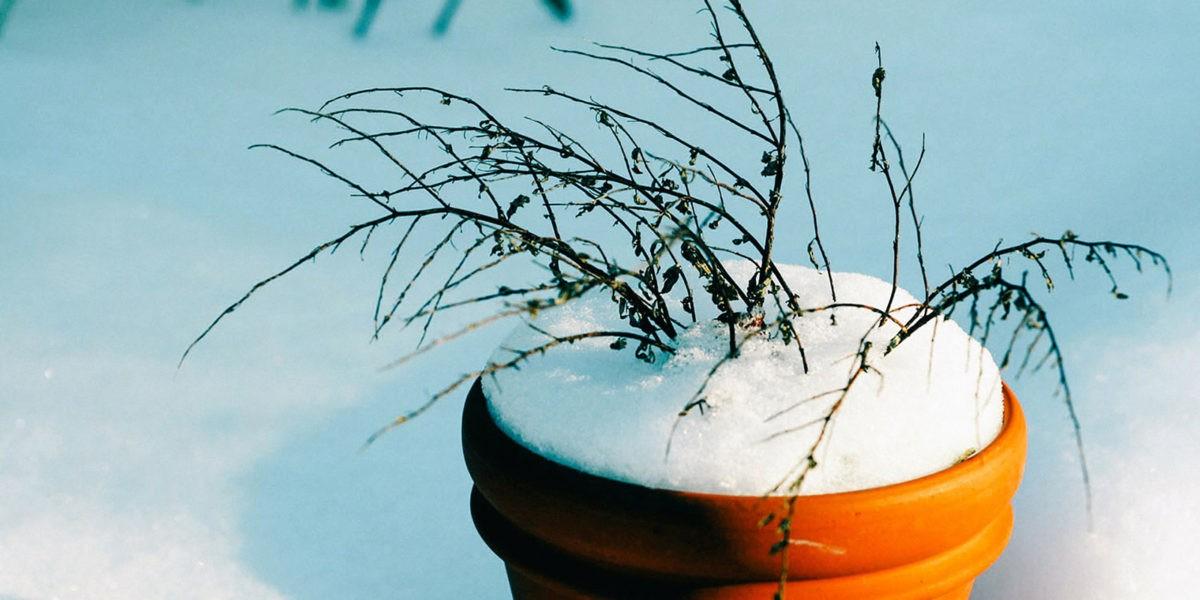 Le froid est là. Plantes sensibles, que faire ?