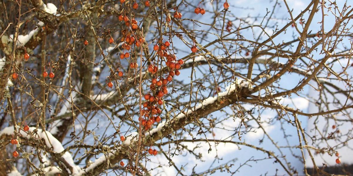 La taille des fruitiers : En hiver pourquoi ?