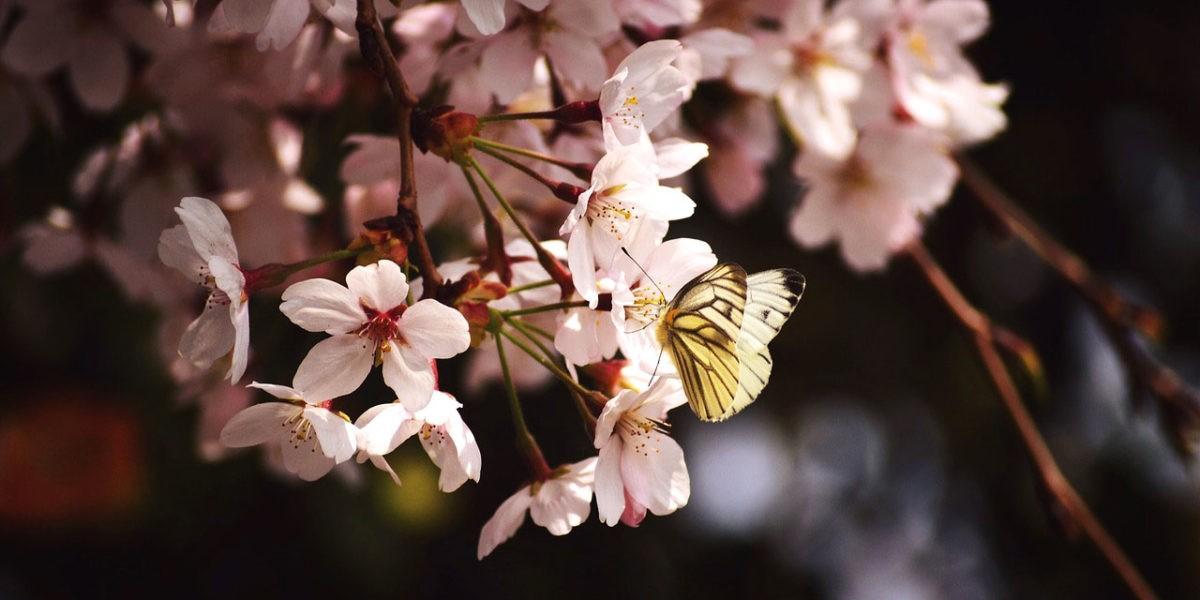 Un arbuste à fleurs nain