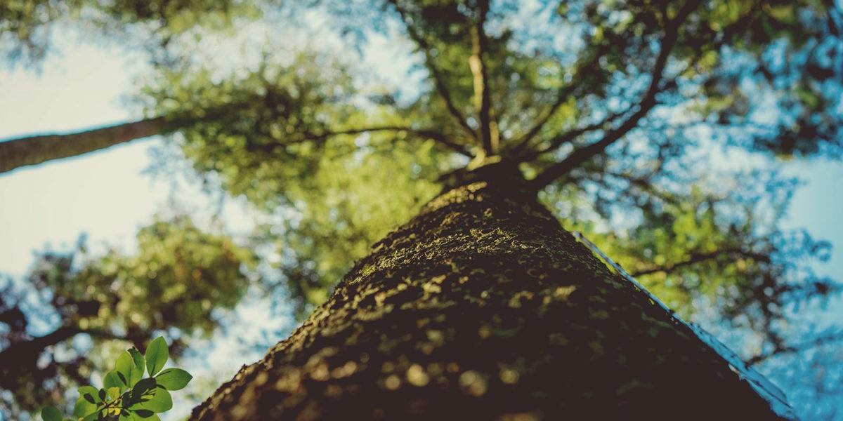 Vitamines pour vieux arbres !