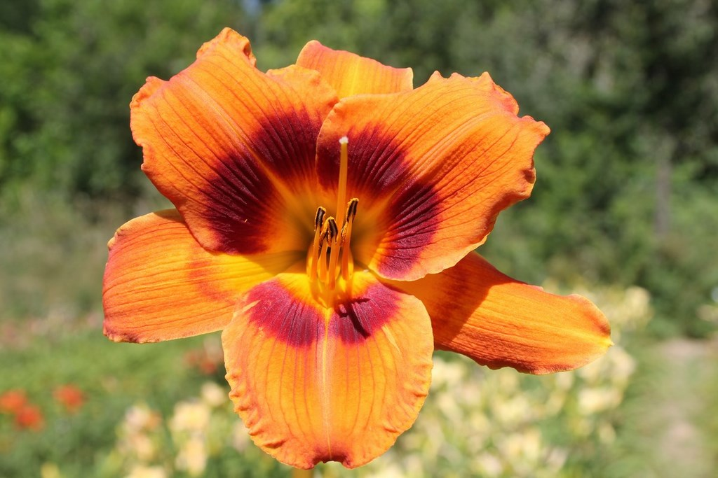 Iris en Lauragais