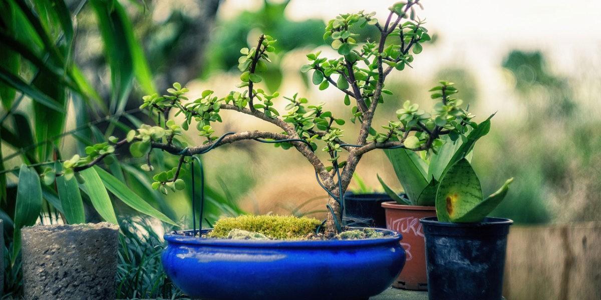 Au printemps, il est temps de rempoter les bonsaïs