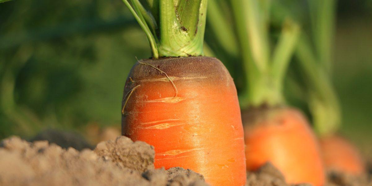Contrer la mouche de la carotte