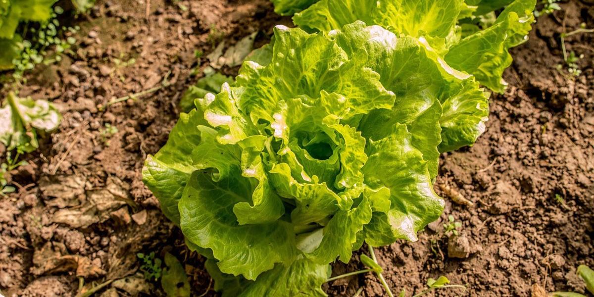 Laitue : communément appelée la salade