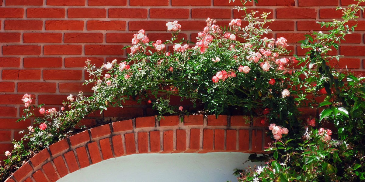 Plantation  de plantes grimpantes  à 50 cm du mur, pourquoi ?
