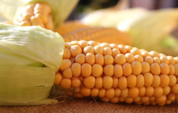 Maïs sucré : un légume d'été