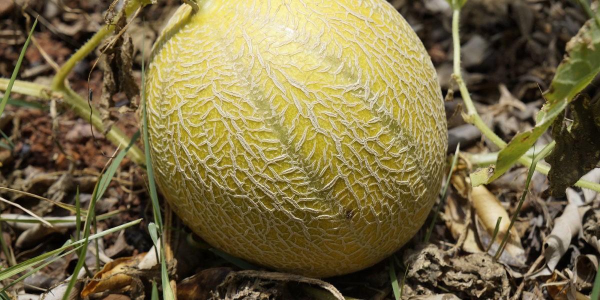 Melon : le fruit du soleil