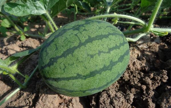 Pastèque ou le melon d'eau