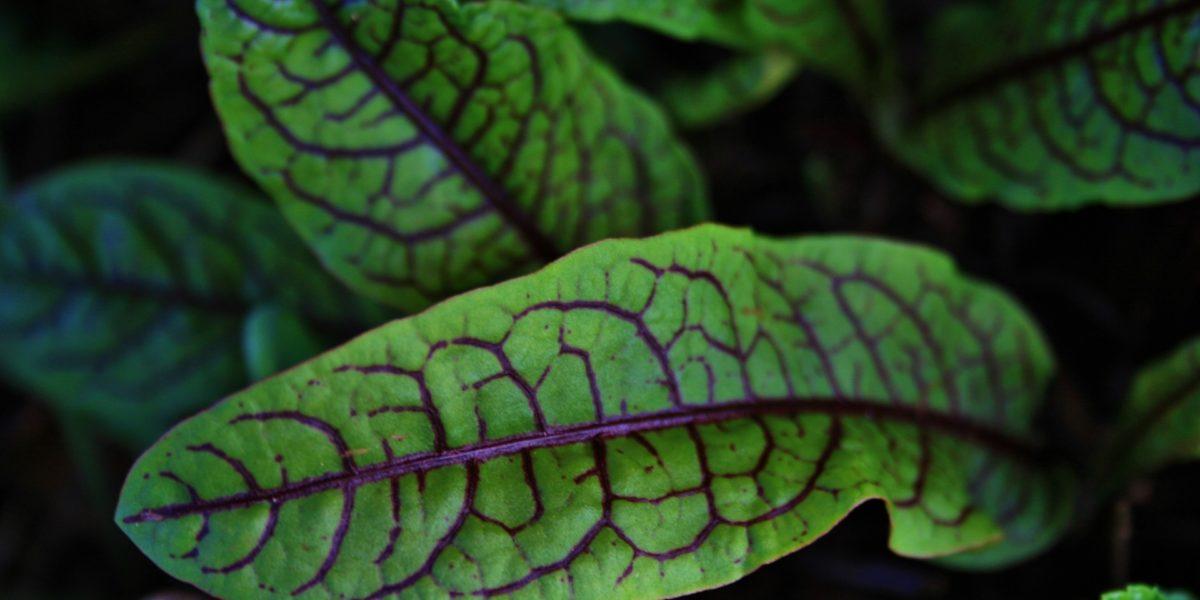 Oseille : un légume aigrelet