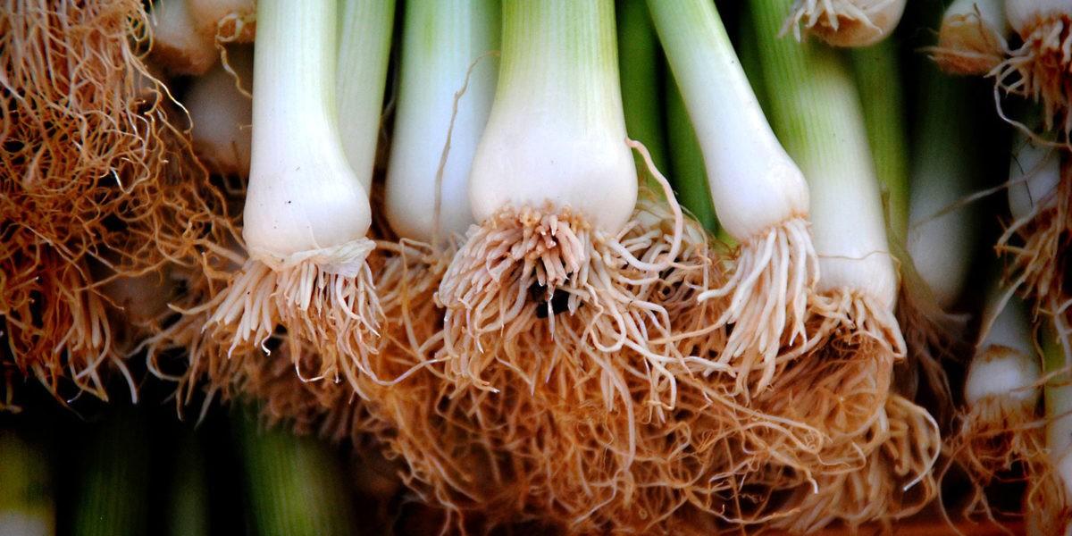 Poireau : semis, culture, récolte