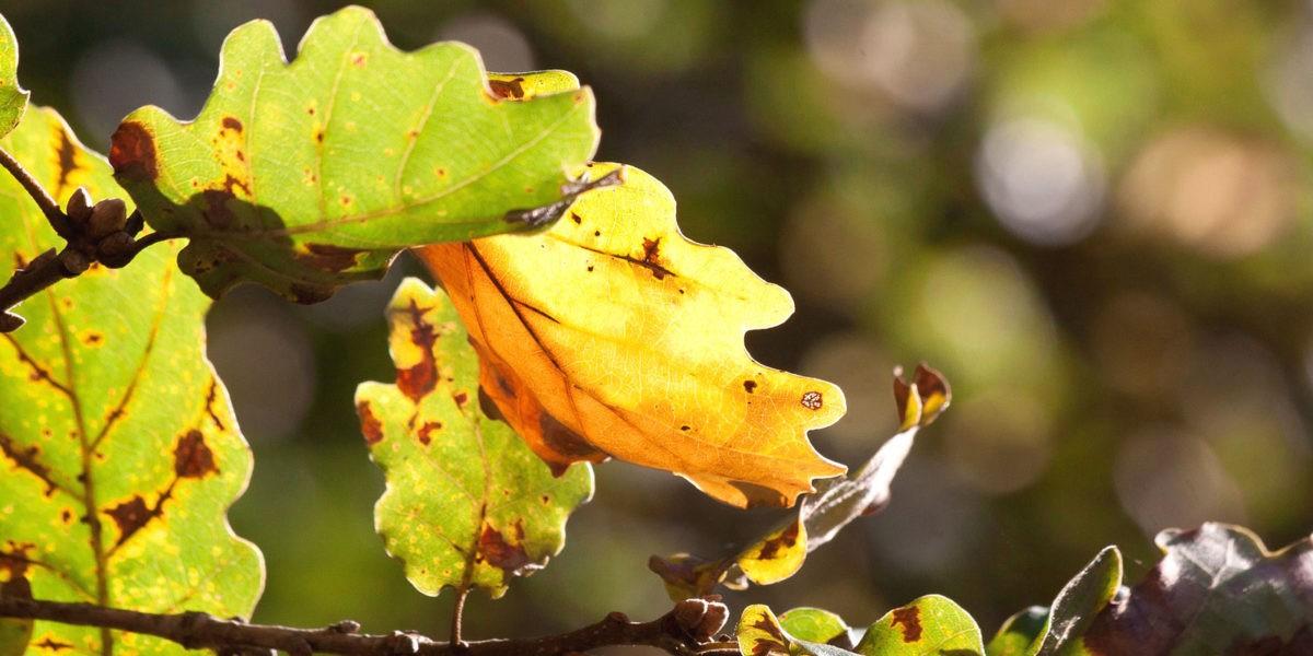 Le chêne : une valeur sûre dans notre paysage