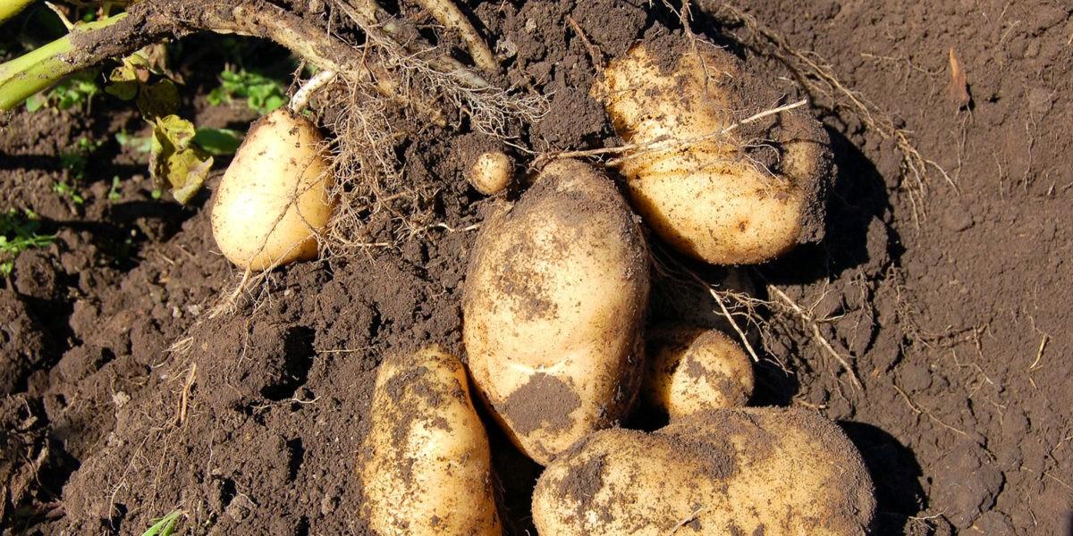 Pomme de terre ou patate