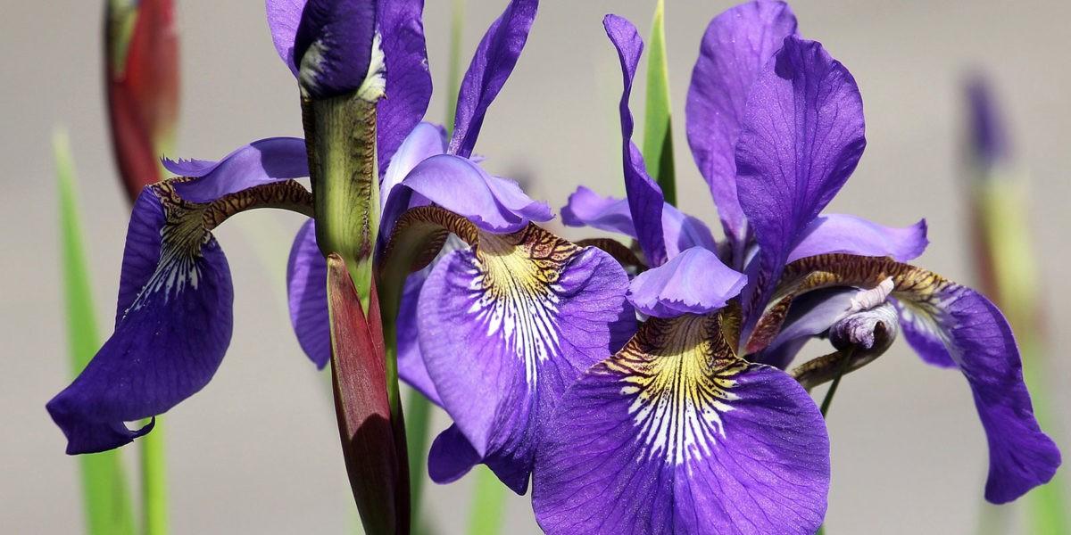 Planter des iris