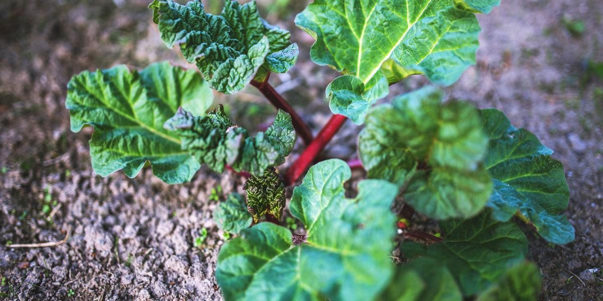 Rhubarbe : un délicieux légume acidulé
