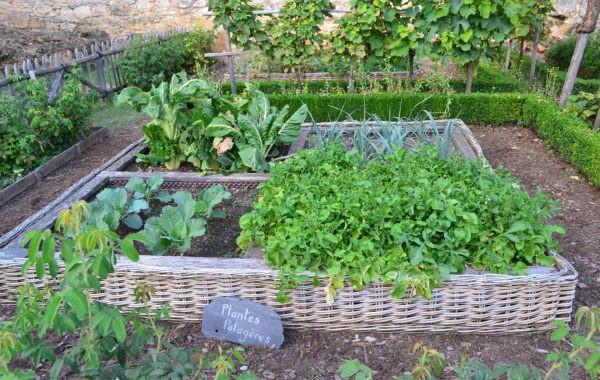 Des plantes médiévales remises au goût du jour