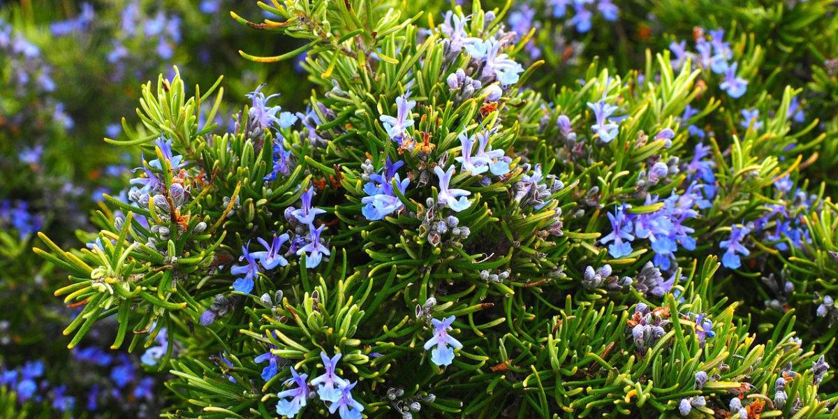 Bien planter des herbes aromatiques