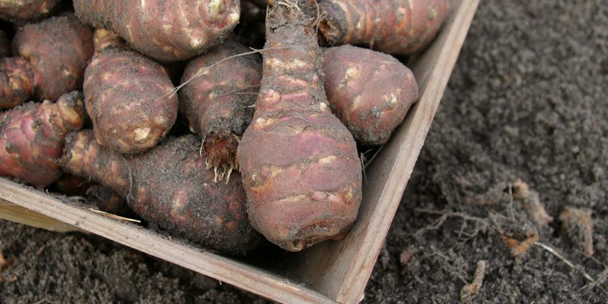 Topinambour : un légume remis au goût du jour