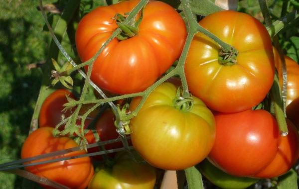 Tomate : un condensé de saveur et de fraîcheur