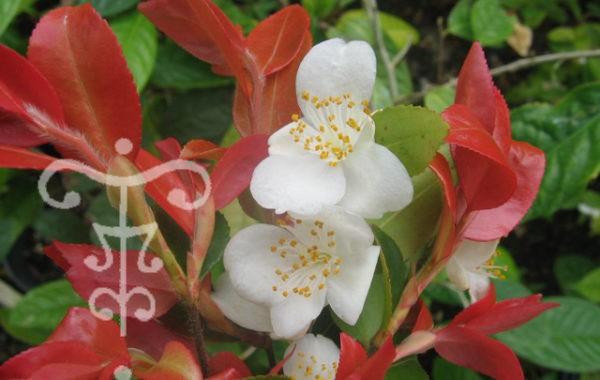 Camellia des Pépinières Thoby