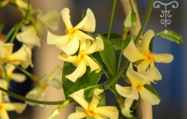 Trachelospernum Pépinières Thoby