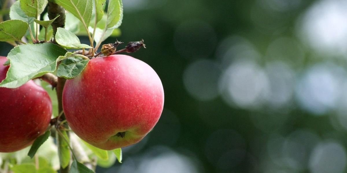A l'arrivée de l'automne, pensez aux fruitiers !