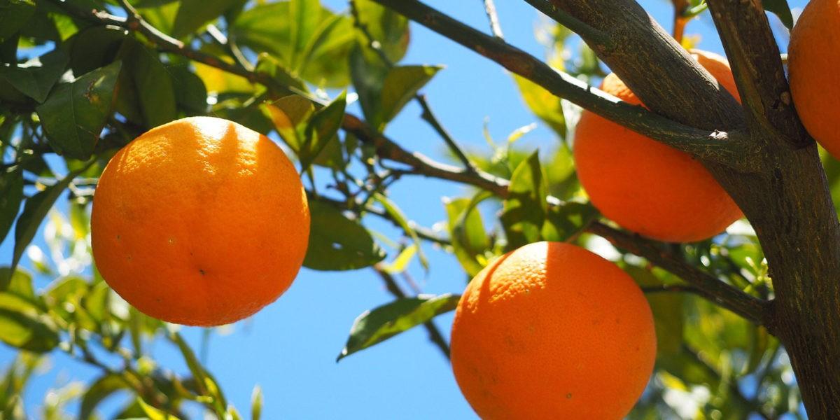 Taille d'automne des fruitiers