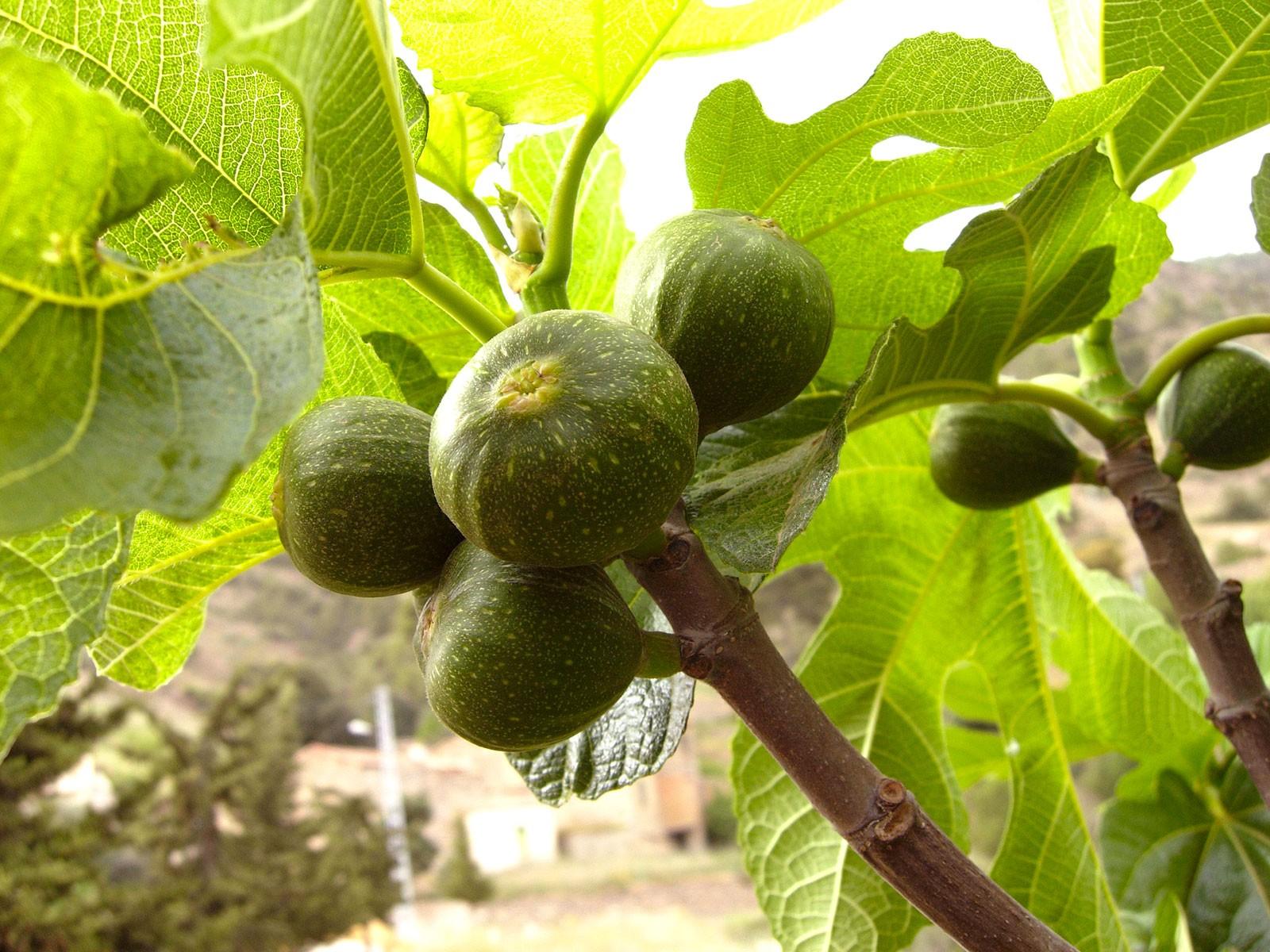 planter un figuier - blog jardin