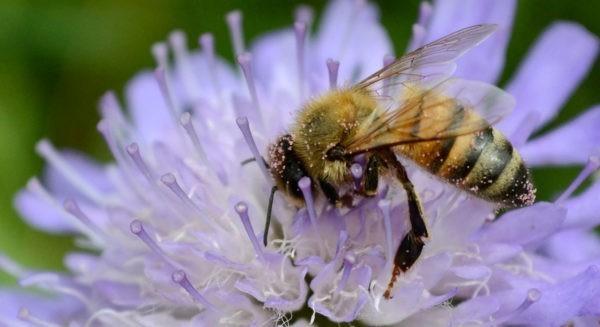 Guêpe ou abeilles