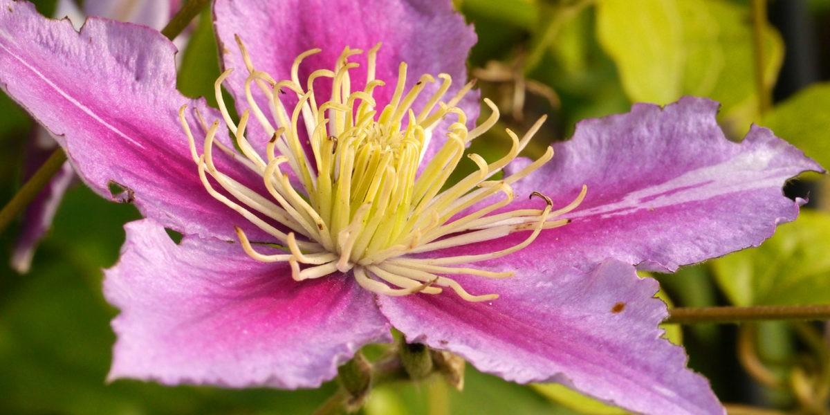 Culture des cl matites racines l 39 ombre fleurs au soleil blog jardin - Plante qui aime le soleil ...