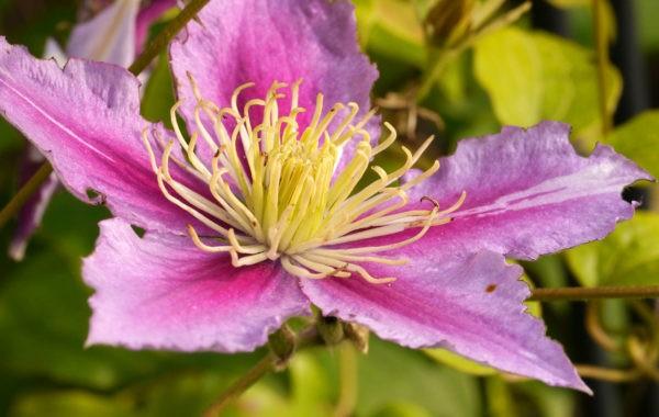 Les clématites aiment avoir les racines à l'ombre et les fleurs au soleil !