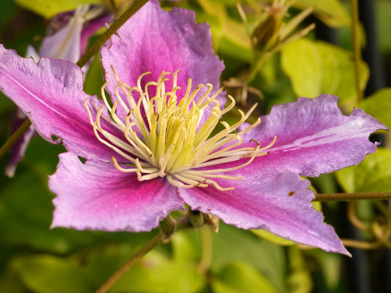 culture des cl matites racines l 39 ombre fleurs au soleil blog jardin. Black Bedroom Furniture Sets. Home Design Ideas