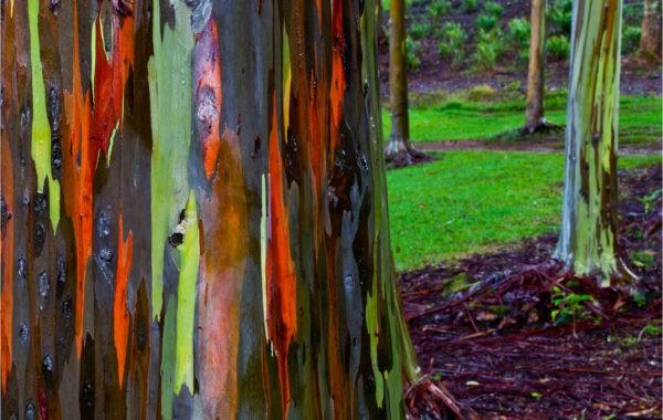 Un arbre insolite : l'Eucalyptus arc en ciel