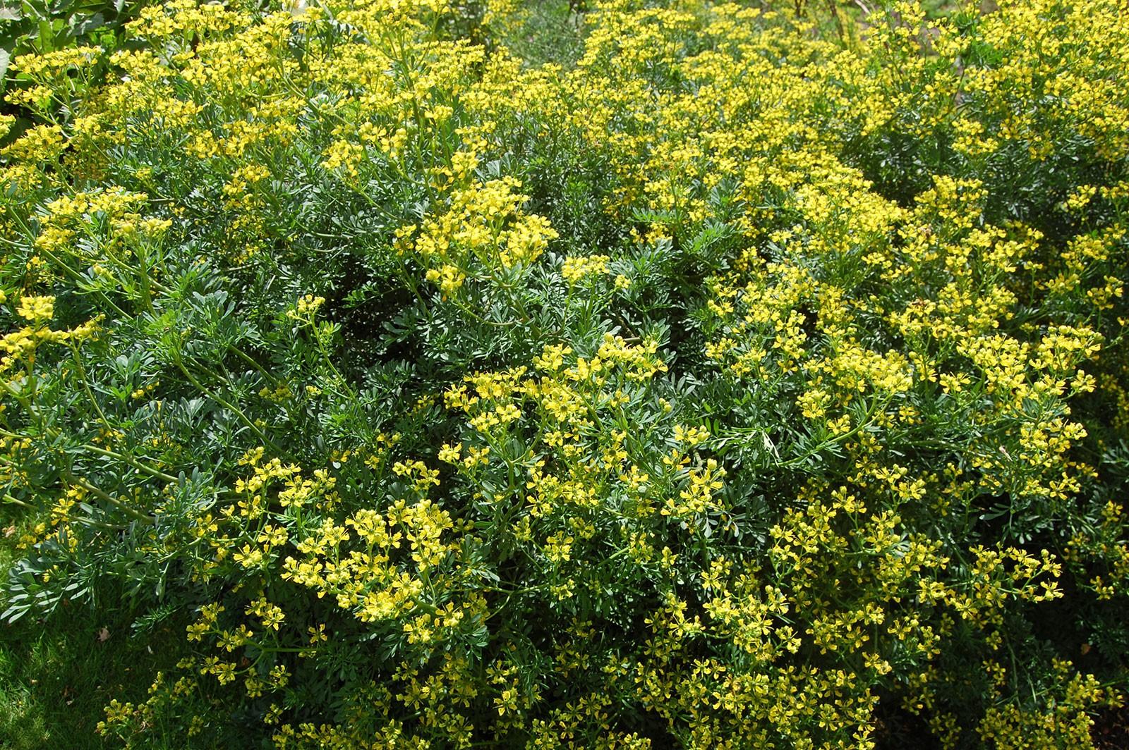 Plantes médiévales