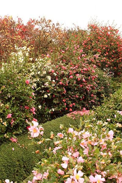 Camellias de printemps à la Pépinière Botanique