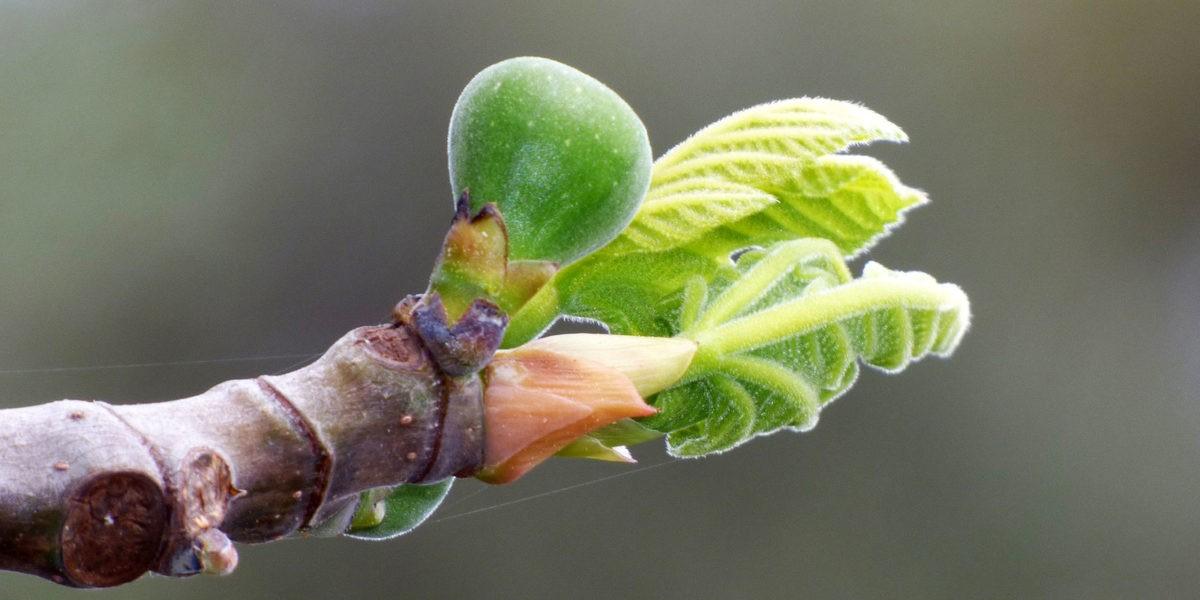 Planter un figuier en container